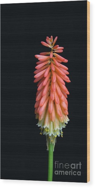Torch Lily Wood Print by Linda Vespasian