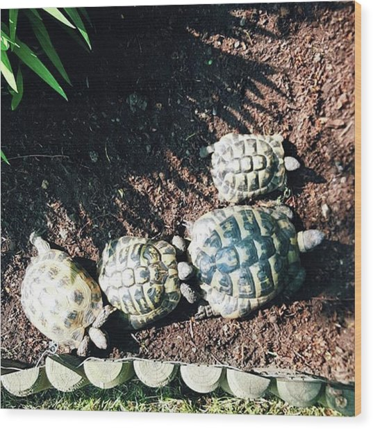 #torts #tortoise #sunbathing #shell Wood Print by Natalie Anne