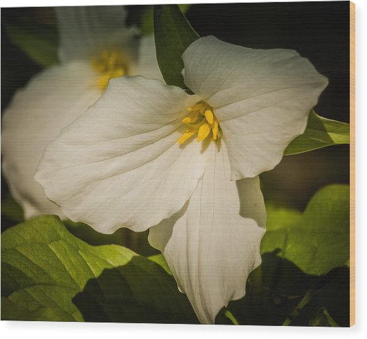 Touched By A Trillium Wood Print