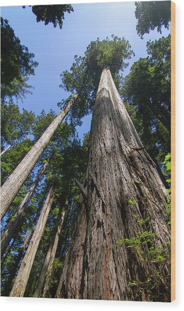 Towering Redwoods Wood Print