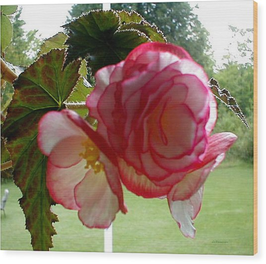 Translucent Begonia Wood Print