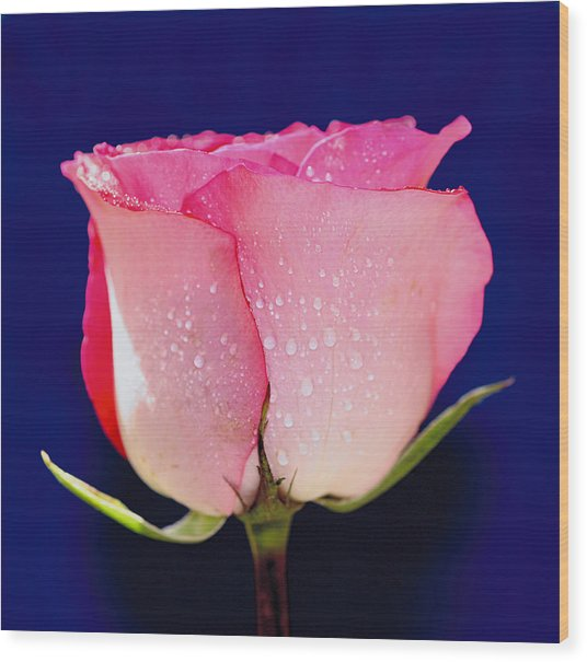 Translucent Rose Wood Print