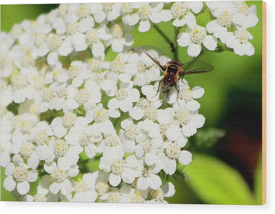 Transverse Flower Fly Wood Print