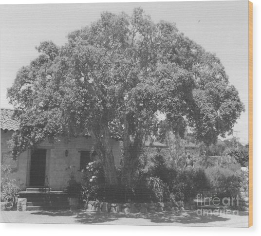 Tree At Carmel Mission Wood Print