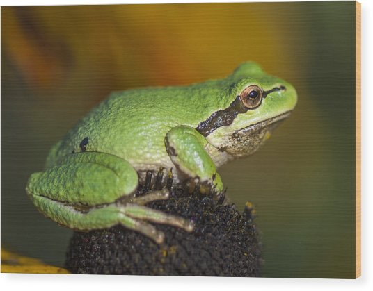 Treefrog On Rudbeckia Wood Print