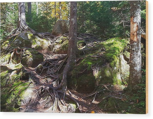 Trees - Mont Tremblant National Park Wood Print