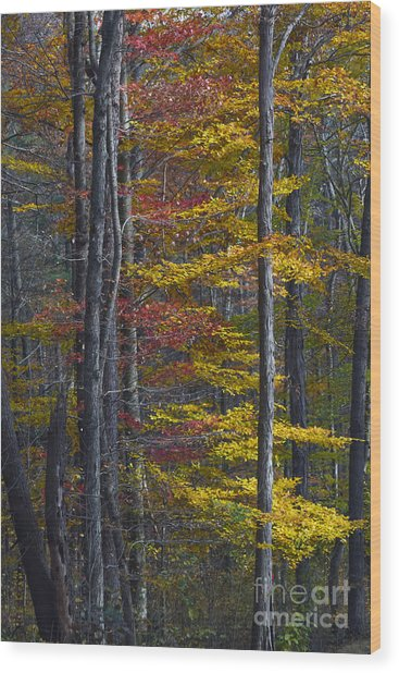 Trees With Autumn Colors 8260c Wood Print