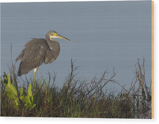 Tri-colored Heron In The Morning Light Wood Print