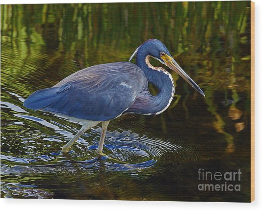 Tricolor Heron Wood Print