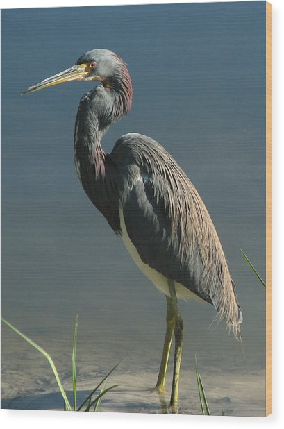 Tricolored Heron Wood Print
