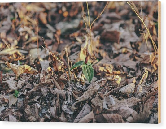 Trillium Blooming In Leaves On Forrest Floor Wood Print