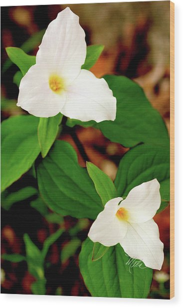 Trilliums Wood Print