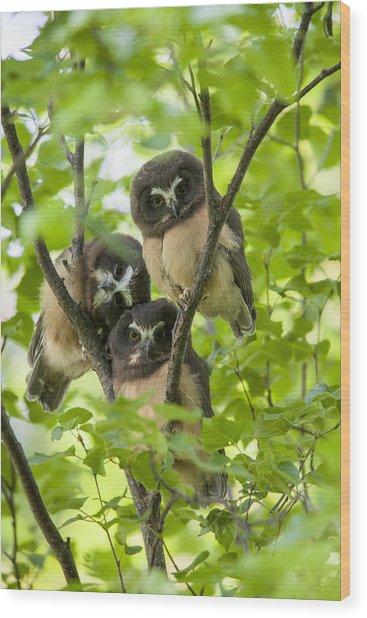 Triple Cute Saw-whet Owls Wood Print