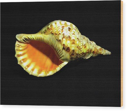 Triton Trumpet Seashell Cymatium Tritonis Wood Print