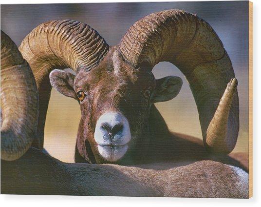 Trophy Bighorn Ram Wood Print