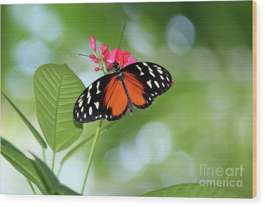 Tropical Hecale Butterfly Wood Print