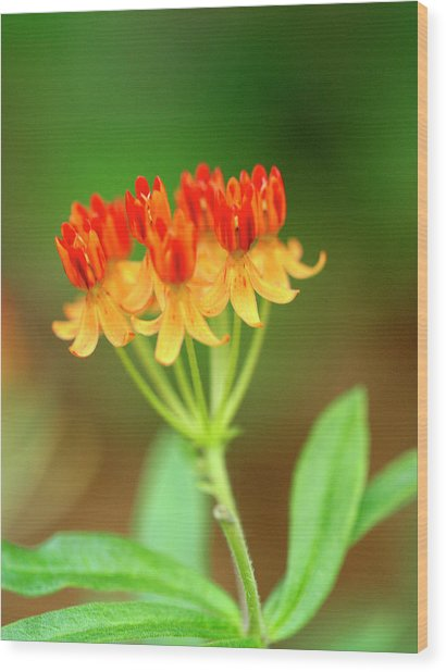 Tropical Milkweed Wood Print