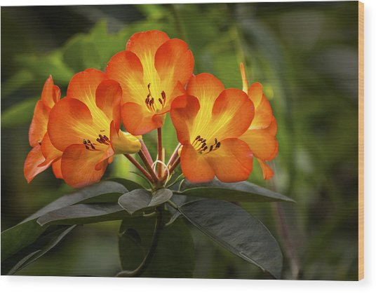 Tropical Rhododendron Wood Print