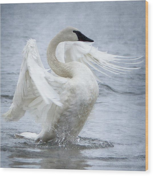 Trumpeter Swan - Misty Display 2 Wood Print