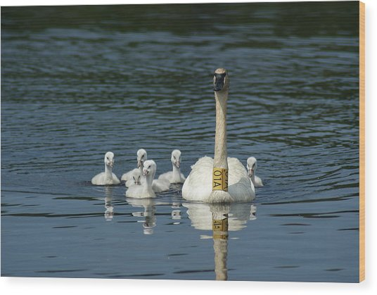 Trumpeter Swan With Cygnets Wood Print