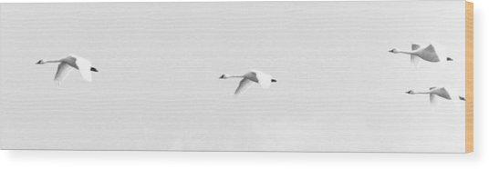 Trumpeter Swans In Flight Wood Print