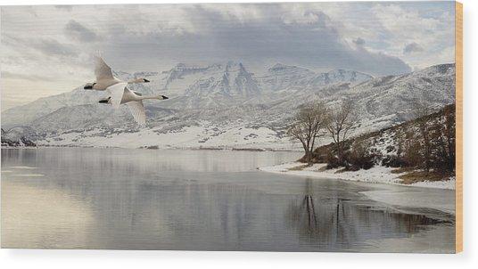 Trumpeter Swans Wintering At Deer Creek Wood Print