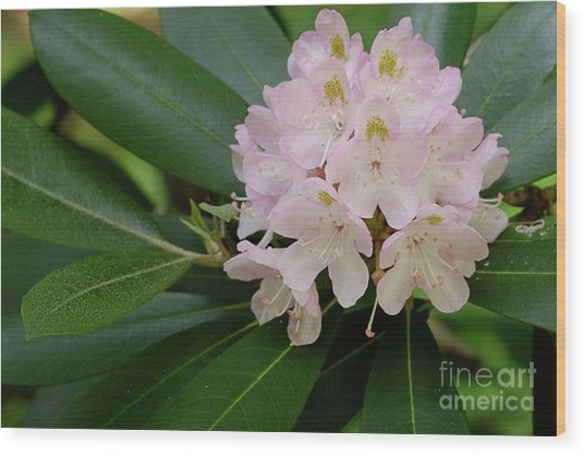Tucker County Rhododendron Wood Print
