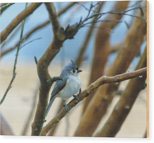 Tufted Titmouse In Tree Wood Print