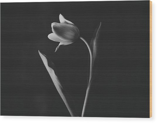 Tulip #0151 Wood Print