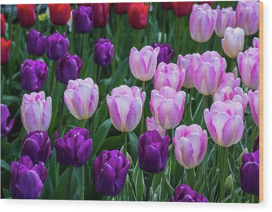 Tulip Blush Wood Print