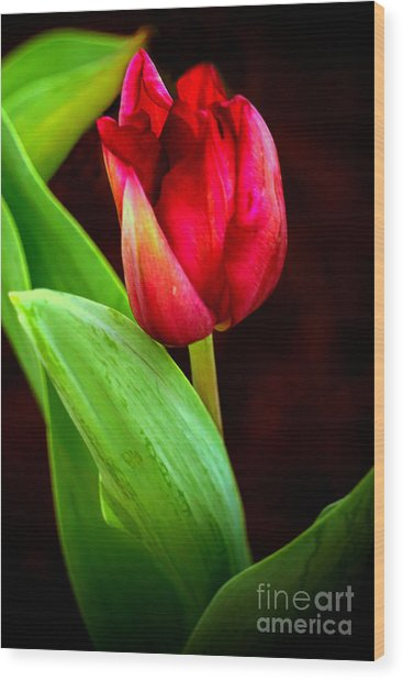 Tulip Caught In The Light Wood Print