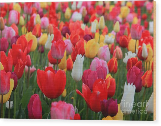 Tulip Color Mix Wood Print