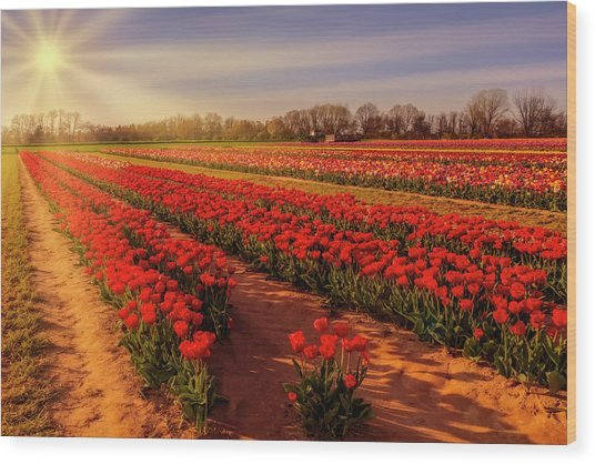 Wood Print featuring the photograph Tulip Farm Sunset by Susan Candelario