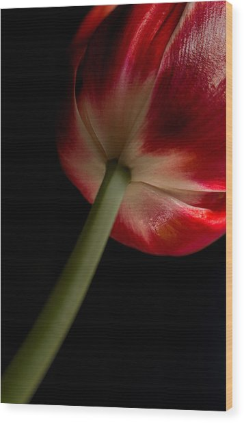 Tulip In Window Light Wood Print