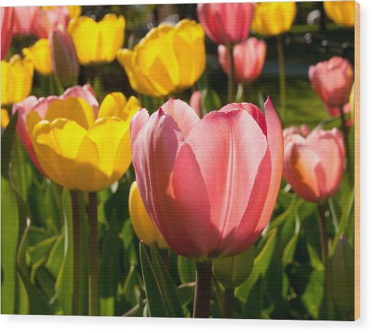 Tulip Pastels Wood Print by Charlet Simmelink