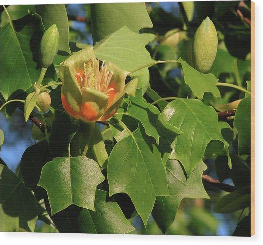 Tulip Poplar Wood Print