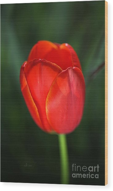 Tulip Red With A Hint Of Yellow Wood Print