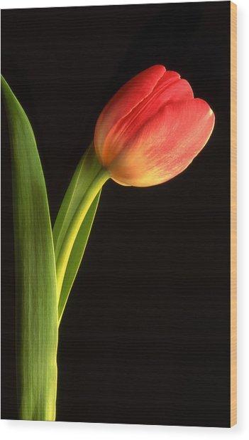 Tulip  Wood Print by Tony Ramos