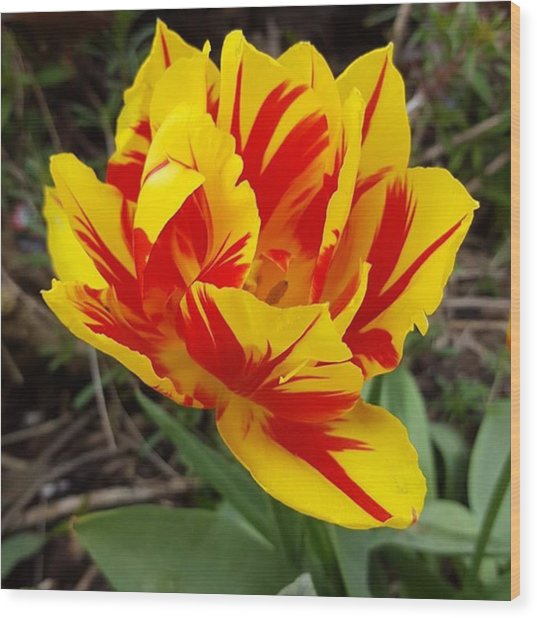 #tulips Are My Favourite Flowers And Wood Print by Dante Harker