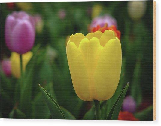 Tulips At Campus Wood Print