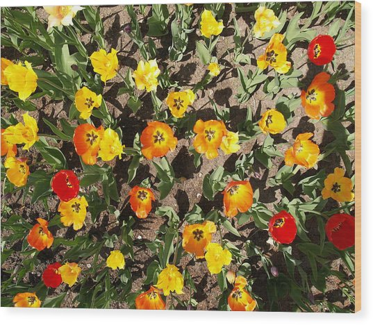 Tulips From A Birds Eye Wood Print by Jacob Stempky