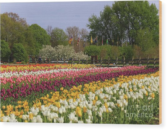 Tulips In Rows Wood Print