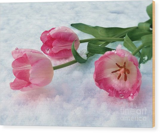 Tulips In Snow Wood Print