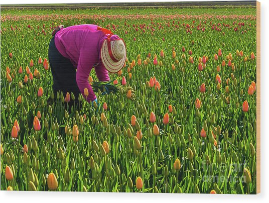 Tulips Picker Wood Print