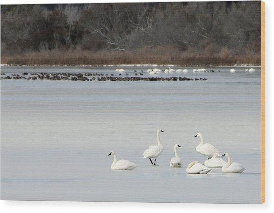 Tundra Swans 1 Wood Print