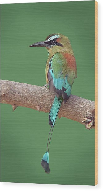 Turquoise-browed Motmot Wood Print