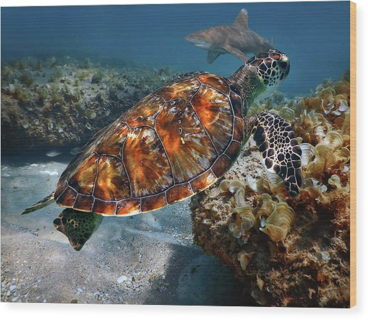 Turtle And Shark Swimming At Ocean Reef Park On Singer Island Florida Wood Print