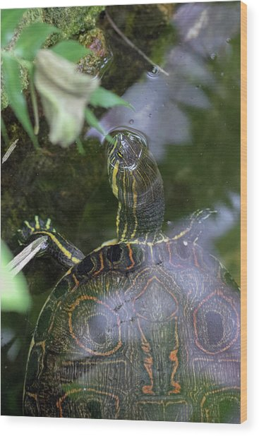 Wood Print featuring the photograph Turtle Getting Some Air by Raphael Lopez