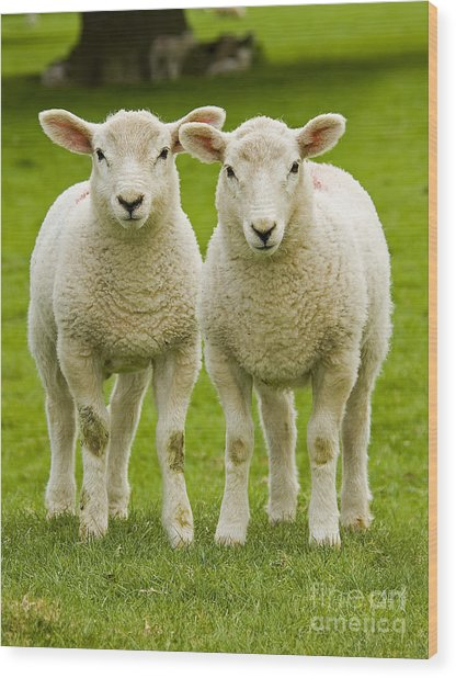 Twin Lambs Wood Print