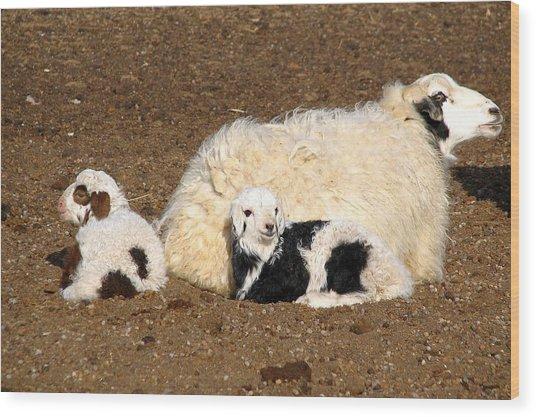 Twin Lambs Of The Gobi Wood Print